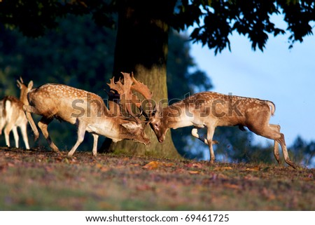 fallow deer fight - stock photo