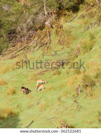 Fallow deer grazing in New Zealand - stock photo