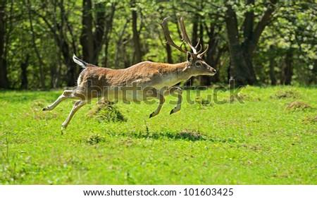 Fallow deer in a natural habitat. - stock photo