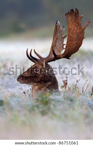 Fallow Deer in the morning frost - stock photo
