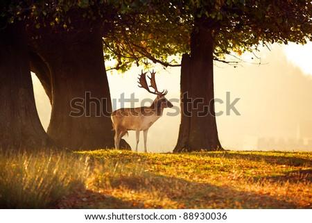 Fallow Deer in the morning sun - stock photo