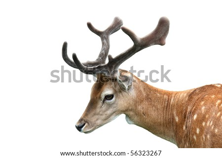 Fallow deer isolated on white background. - stock photo