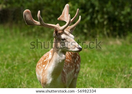 fallow deer, male / Dama dama - stock photo
