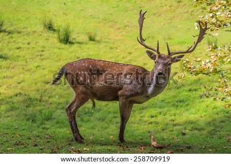Fallow deer portrait - stock photo