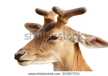 fallow deer stag portrait ( Dama ) isolated over white background