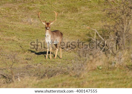 Fallow deer standing in the forest - stock photo