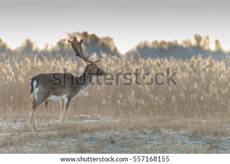 Fallow deer walking through nature