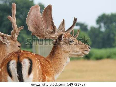 Fallow stag deer in clearing Richmond, London England