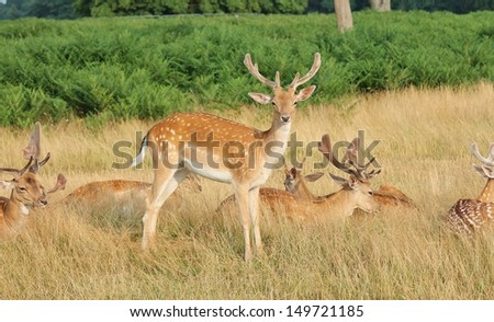 Fallow stag deer standing by group resting family