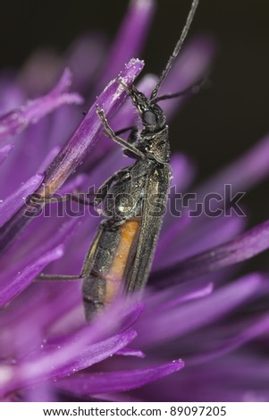 False blister beetle (Oedemeridae) feeding on thistle, extreme close-up