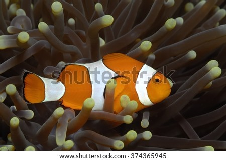 False Clownfish (Amphibrion percula) in anemone