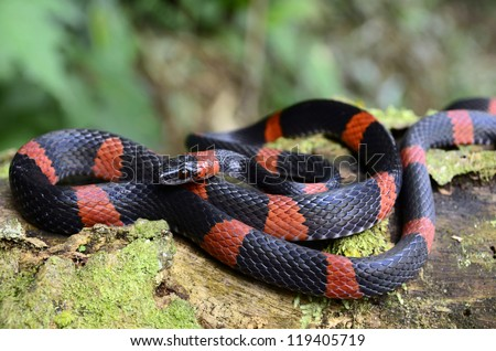 False coral snake (Oxyrhopus petola) - stock photo