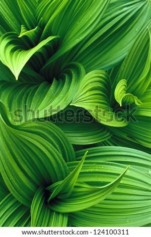 False Hellebore Leaves - stock photo