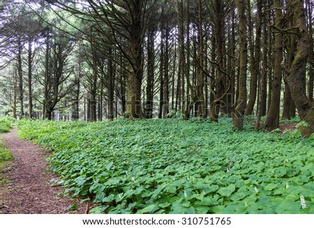 False lili of the valley covering the ground in this section of forest in the central Oregon coast - stock photo