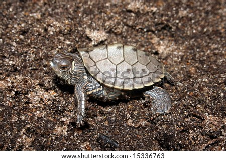 False Map Turtle (Graptemys pseudogeographica) - stock photo
