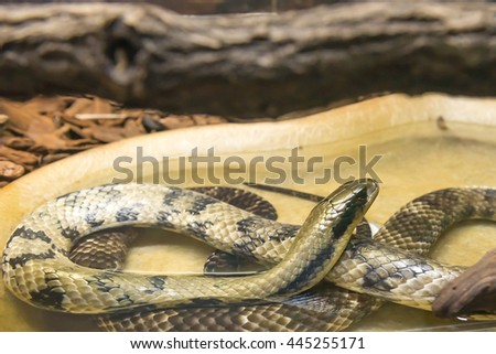 False Water Cobra (Hydrodynastes gigas) slithering on the bare ground - stock photo