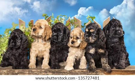 family american Cocker Spaniel dogs - stock photo