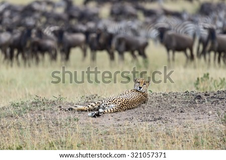Family Cheetah Masai Mara National Park in Kenya - stock photo