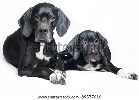 family dog, father and son, pointer dog - stock photo