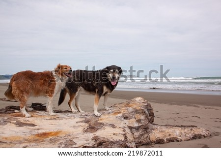 family dogs on a driftwood log at a New Zealand beach  - stock photo