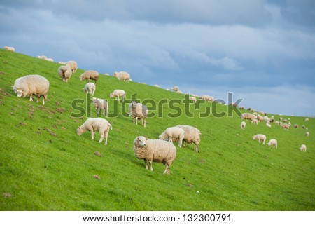 Family gathering of sheep on green meadow on dutch island Texel - stock photo