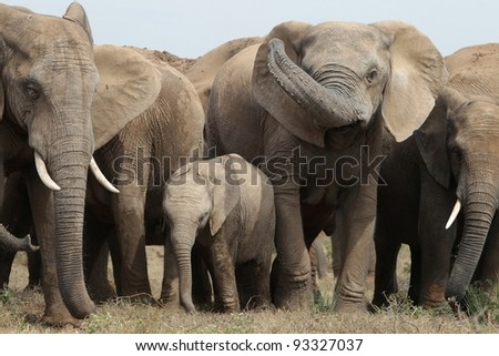 Family group of African elephants in South Africa - stock photo