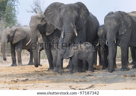 Family group of elephants at Chobe national park in Botswana, Africa - stock photo