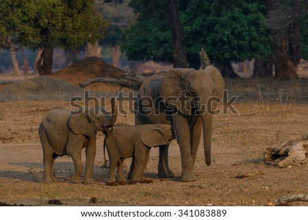 Family group of elephants with young calf suckling