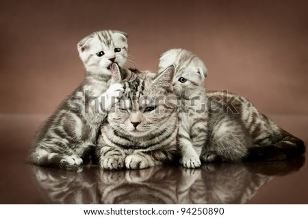 family group of three fluffy  beautiful kitten with mother, breed scottish-fold,  lie on brown  background - stock photo