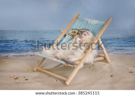 family lovely ferret sunbathing on a sun lounger on the beach - stock photo