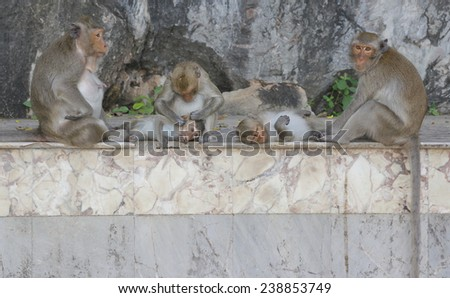 family  Monkey looking for fleas and ticks - stock photo