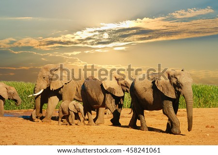 Family of African elephant, Loxodonta africana, walking and drinking in bright afternoon, Addo Elephant National Park, South Africa - stock photo