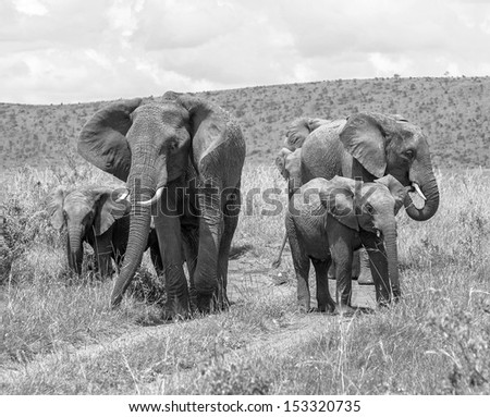 Family of african elephant on the Masai Mara National Reserve - Kenya, East Africa (black and white) - stock photo