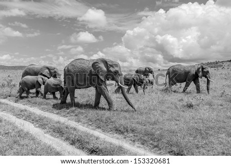 Family of african elephant on the Masai Mara National Reserve - Kenya, Eastern Africa (black and white) - stock photo