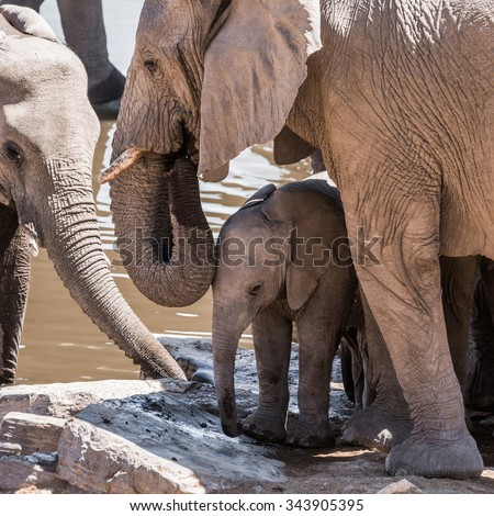Family of African elephants at a waterhole in Etosha national park. Namibia, Africa. - stock photo