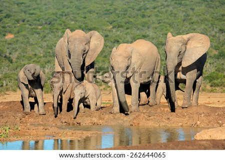 Family of African elephants (Loxodonta africana) at a waterhole, Addo Elephant National Park, South Africa - stock photo