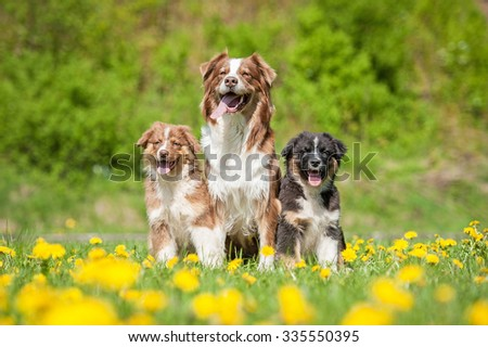 Family of australian shepherd dogs sitting on the field with dandelions - stock photo