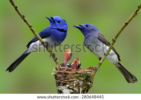 Family of Black-naped Monarch (Blue flycatcher), the beautiful blue birds guarding their chicks in the nest with nice blur green background - stock photo