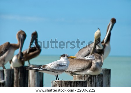 family of brown pelicans and tem  standing on a pier post - stock photo