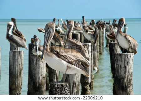 family of brown pelicans standing on a pier post. - stock photo