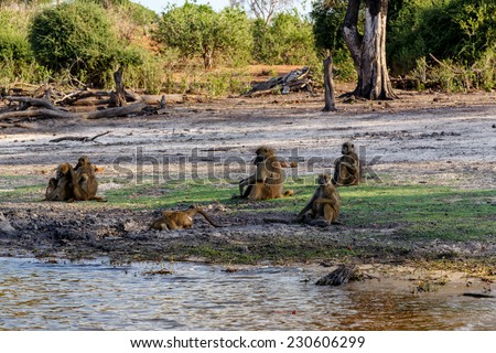 family of Chacma Baboon (Papio anubis), Chobe National Park in Botswana - stock photo
