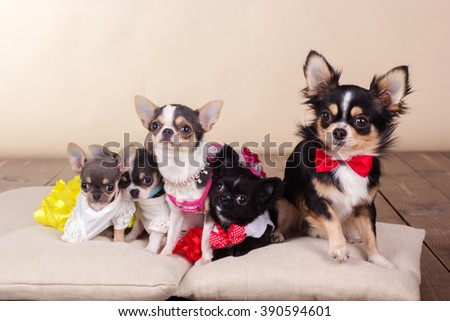 Family of chihuahua dogs on pillows in studio
