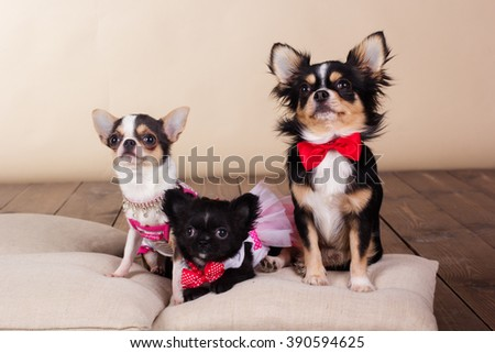 Family of chihuahua dogs on pillows in studio - stock photo