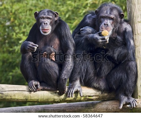Family of chimpanzee - stock photo