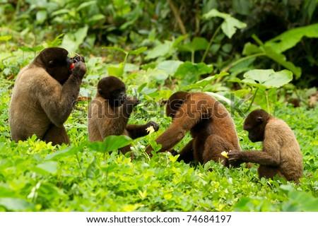 FAMILY OF CHORONGO MONKEY IN ECUADORIAN JUNGLE WILDLIFE SHOOT  - stock photo