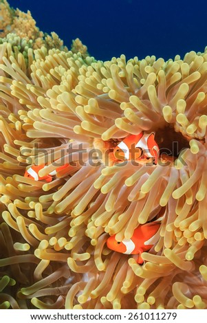 Family of Clownfish in a large anemone - stock photo