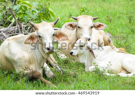Family of Cow in nature .