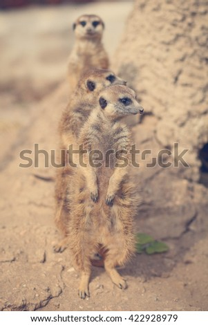 Family of cute Slender-Tailed Meerkats - stock photo