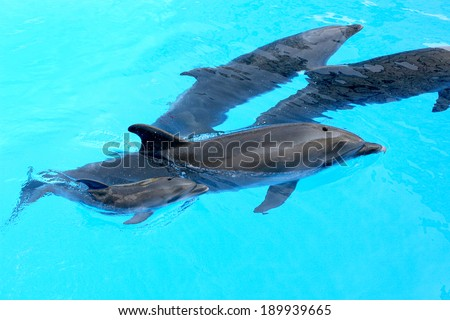 Family of dolphins, mother and father with his young dolphin swims in the pool. Child is having fun in the water and have fun playing  - stock photo