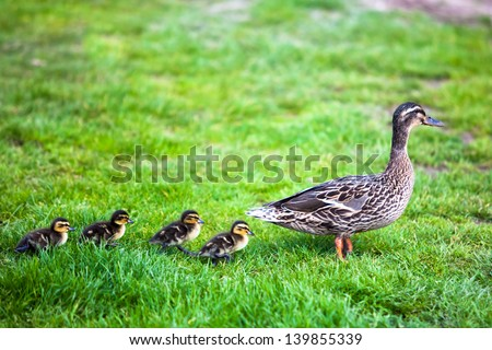 Family of ducks. - stock photo